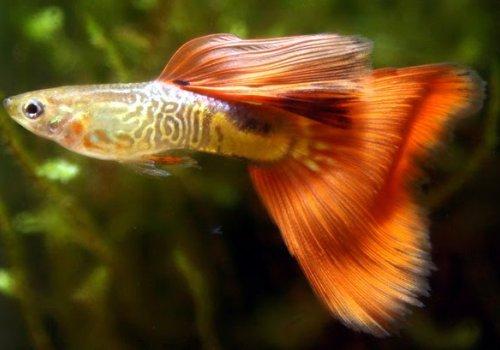 Гуппи Cеребристо-красная (Guppy Silver Red)